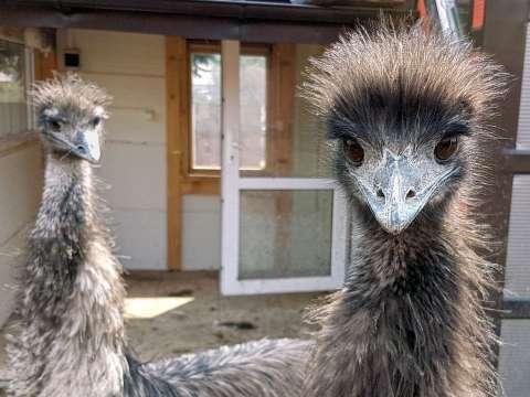 Emu hnedý