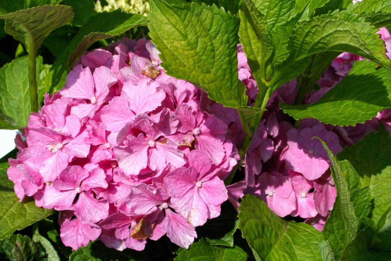 Hortenzia kalinolistá ružová
