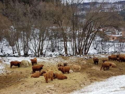 Škótsky dobytok