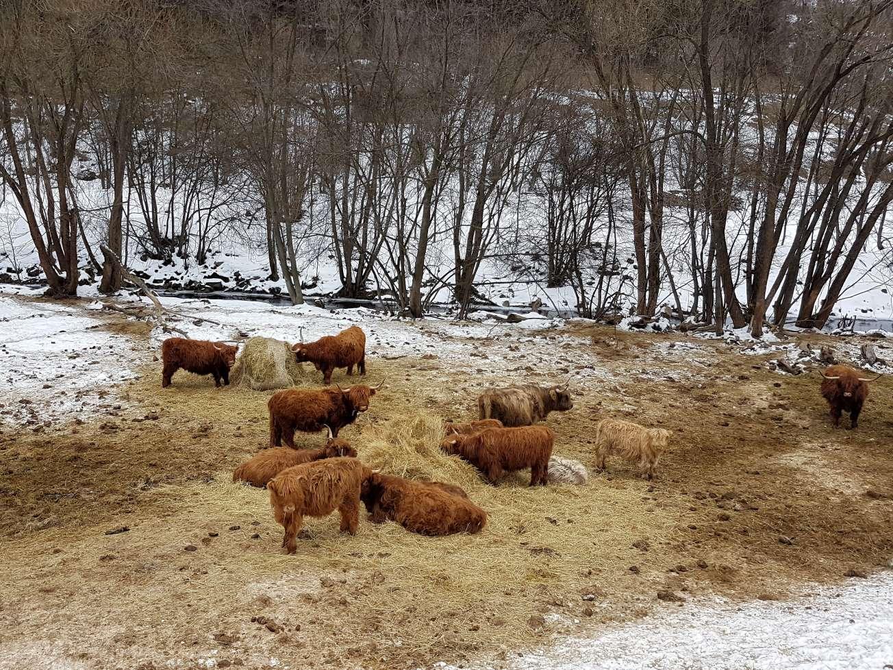 dobytok – highland