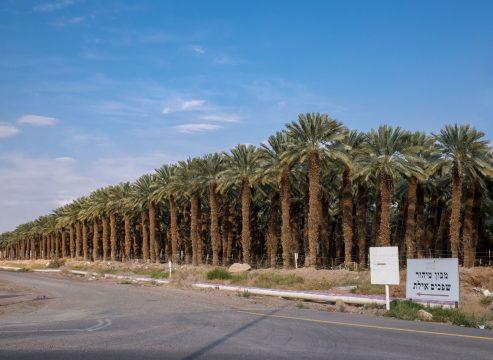 Palmový háj v Izraeli