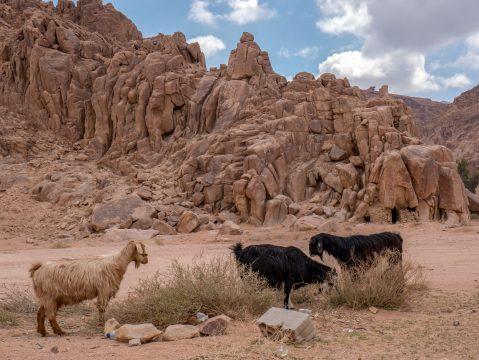 Kozy na púšti v Jordánsku