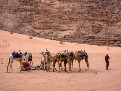 Ťavy v púšti