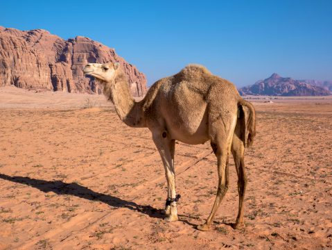 Ťava v púšti Wadi Rum