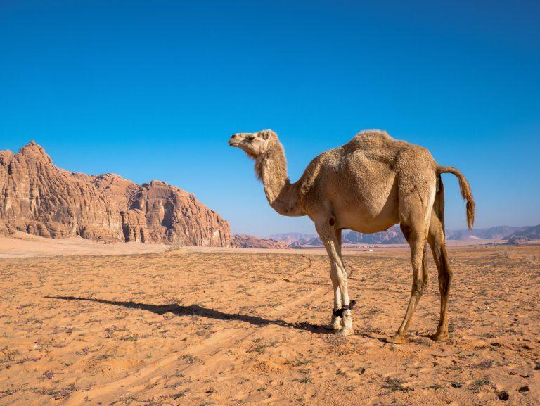 Ťava v púšti