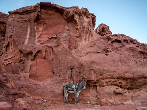 Osol v púšti Wadi Rum
