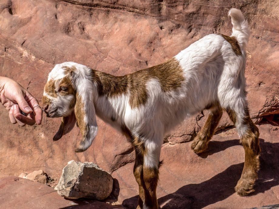 Púštna koza