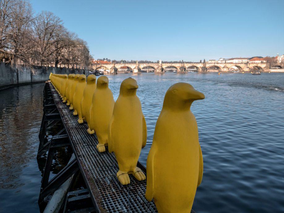 Žltí tučniaci na Vltave