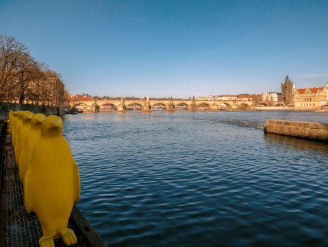 Žlutí tučňáci na Vltavě