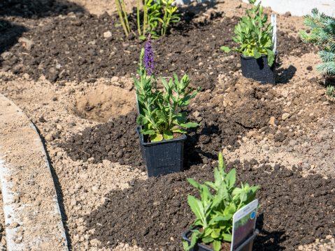 Ako pestovať šalviu
