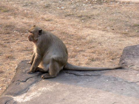 Opica v komplexe Angkor
