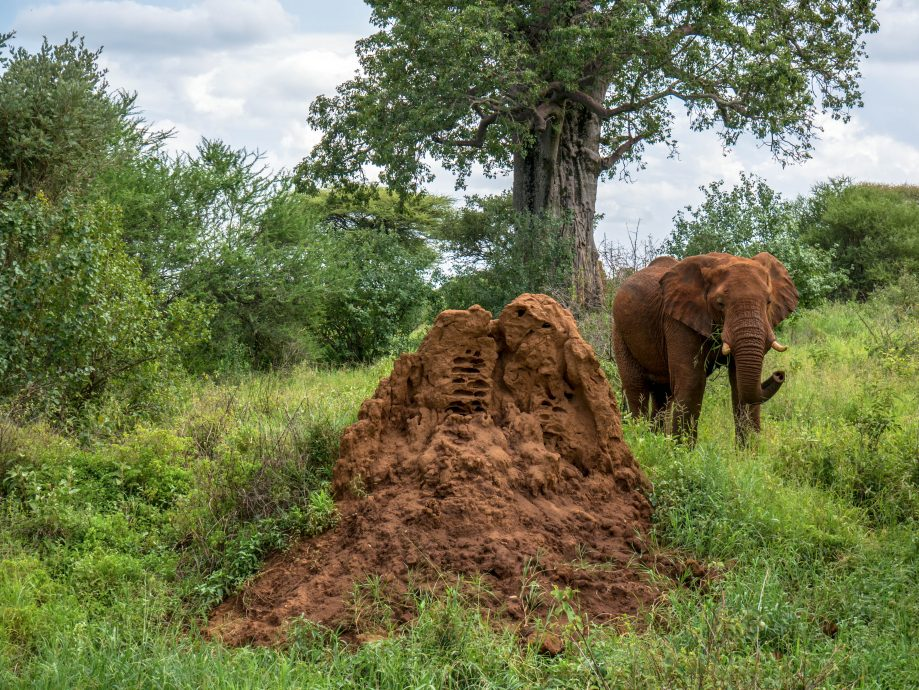 Slon v Tanzánii
