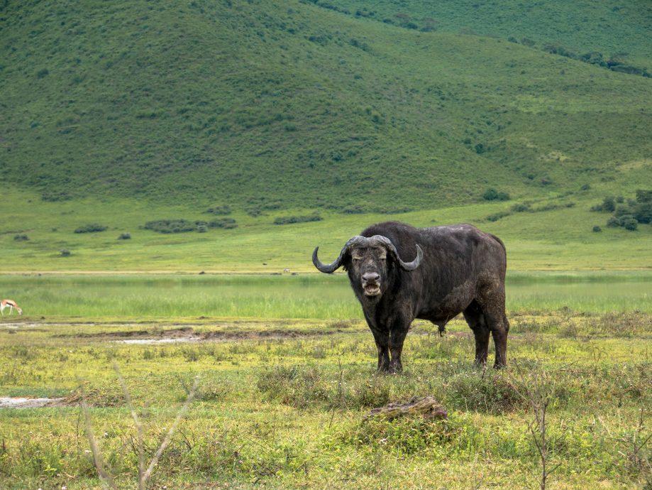 Byvol africký